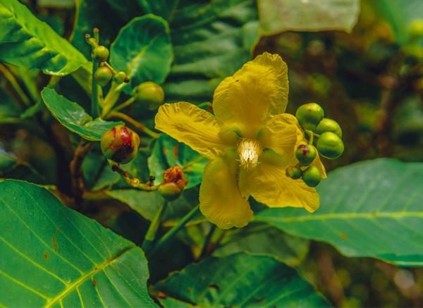 Simpur Flower